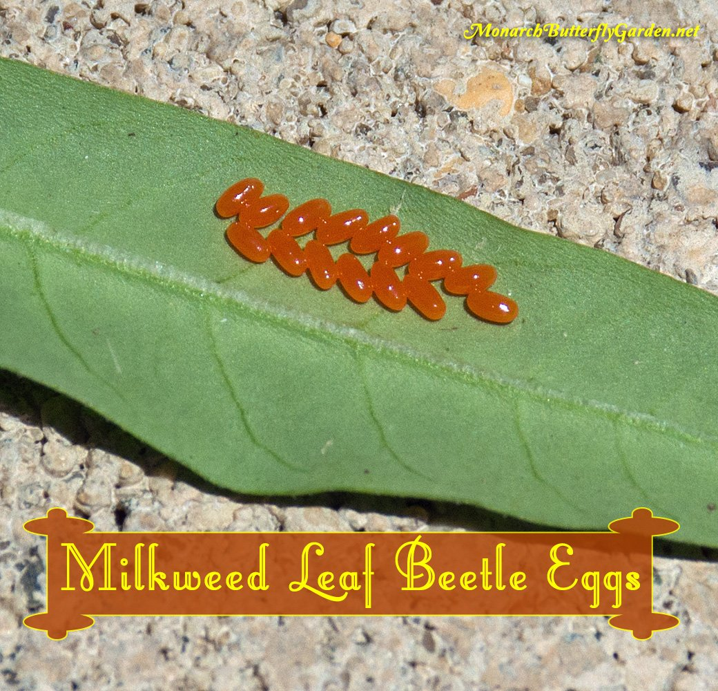 Swamp Milkweed Leaf Beetle Eggs look innocent enough, but the beetles that emerge have insatiable appetites for your milkweed plants. How can you prevent them from ruining your milkweed patch for monarchs?