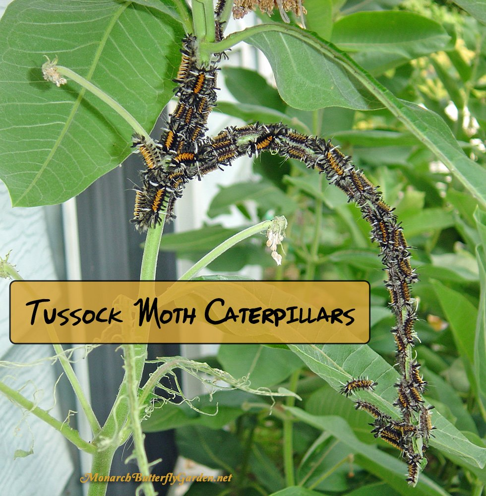 Tussock moth larvae are the other milkweed caterpillars. They feed in large clusters and can quickly mow milkweed plants to the ground. How can you stop them from taking over monarch-reserved milkweed?