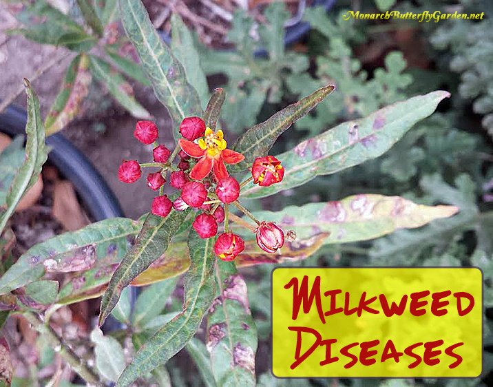 Milkweed Diseases can ruin your plants and create a garden eyesore. How much these diseases affect monarch caterpillar health is still in question. Check out some ideas to treat and prevent milkweed disease and other not so fun-gus...
