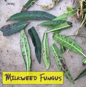 What can you do to stop milkweed fungus from ruining your milkweed for monarchs? These these tried and true tips for growing healthier milkweed plants.