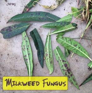Milkweed Diseases