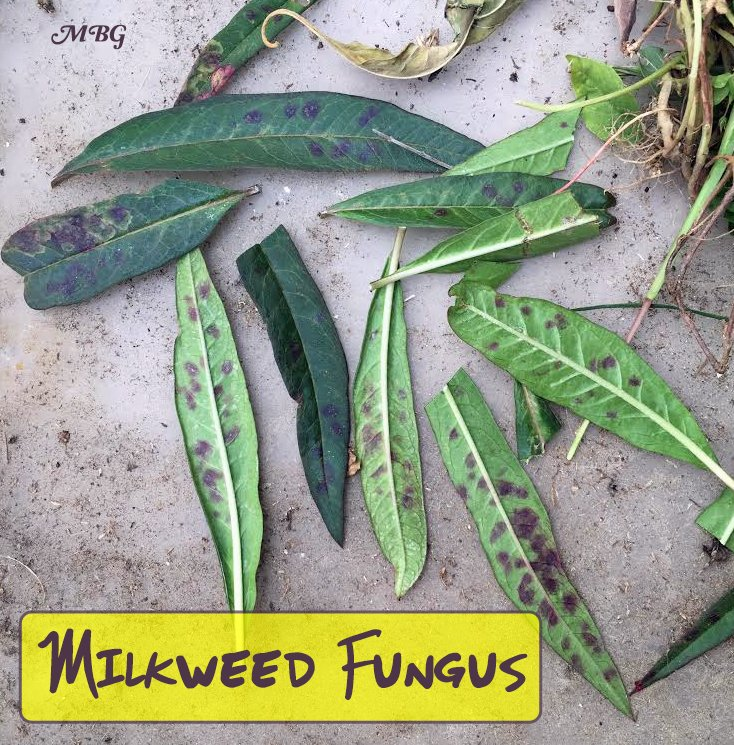 What can you do to stop milkweed fungus from ruining your milkweed patch? These these tried and true tips for growing healthier milkweed plants for monarchs and their caterpillar kids.