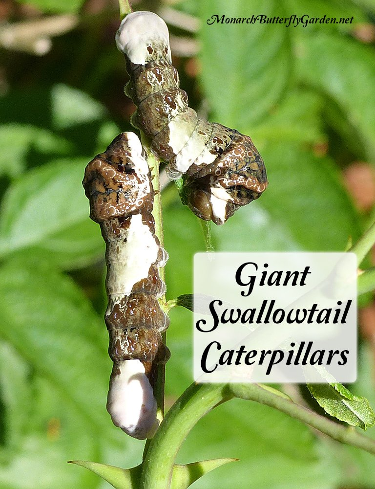 Giant Swallow Caterpillars are camouflaged as bird droppings, while also taking on a snake-like appearance to make potential predators think twice. Learn how to raise these cool cats indoors.