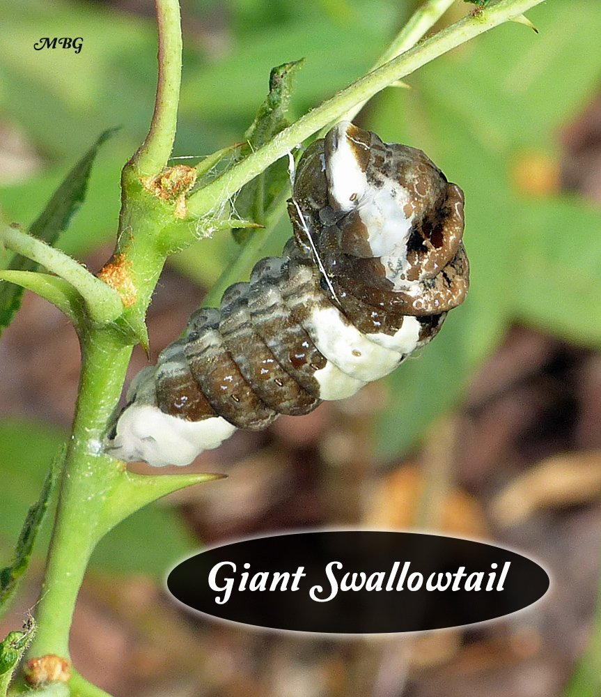 When a giant swallowtail is ready to form its chrysalis the caterpillar attaches it posterior with silk, and its anterior end with a thin, yet surprisingly effective, belt-like structure.