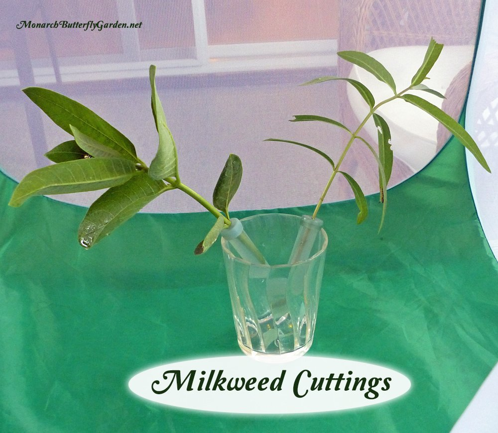 When feeding monarch caterpillars milkweed cuttings, keep your floral picks elevated so they don't leak, and so caterpillars aren't crawling around in potentially disease-causing frass. More ways you can use stem cuttings to make raising monarchs easier...