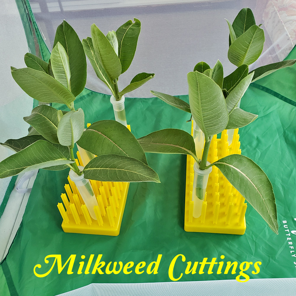 use milkweed cuttings- an easier way to feed monarch caterpillars and keep milkweed fresh