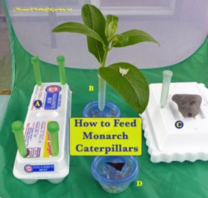 Monarch caterpillar food ideas- how to make milkweed last longer by using milkweed cuttings.