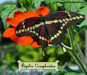 Adventures in Raising the Giant Swallowtail Butterfly
