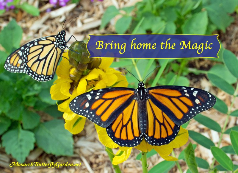 Charmant Elegant Monarch Butterfly Garden Raise Monarchs | Gardening