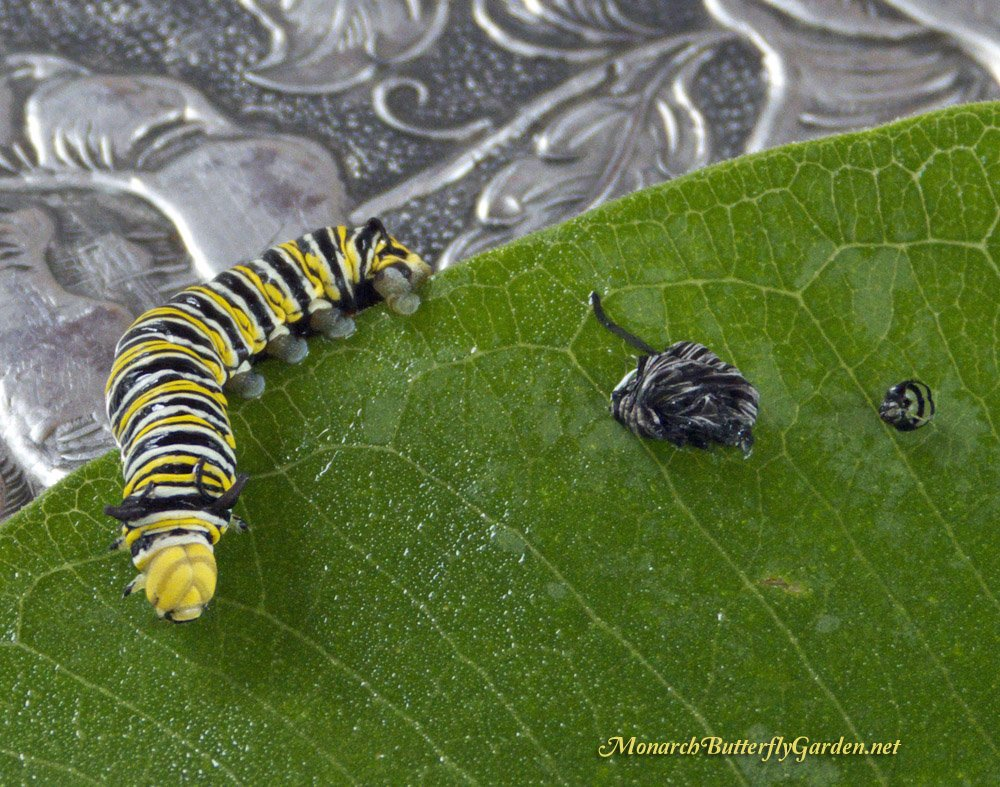 Large Monarch Caterpillar Care Raise The Migration