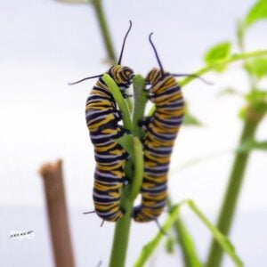 Large Monarch Caterpillar Care?