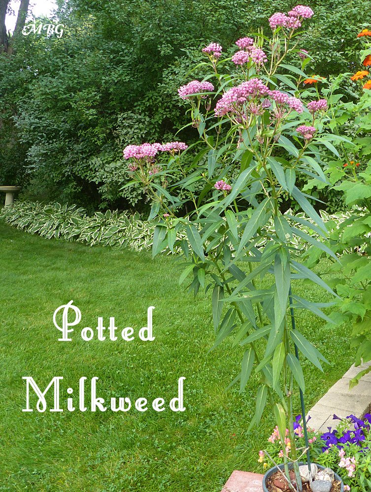 Potted milkweed plants are a good way to attract monarch eggs, but blooming flowers will attract more more predators. Learn more about using container milkweed to attract monarchs...