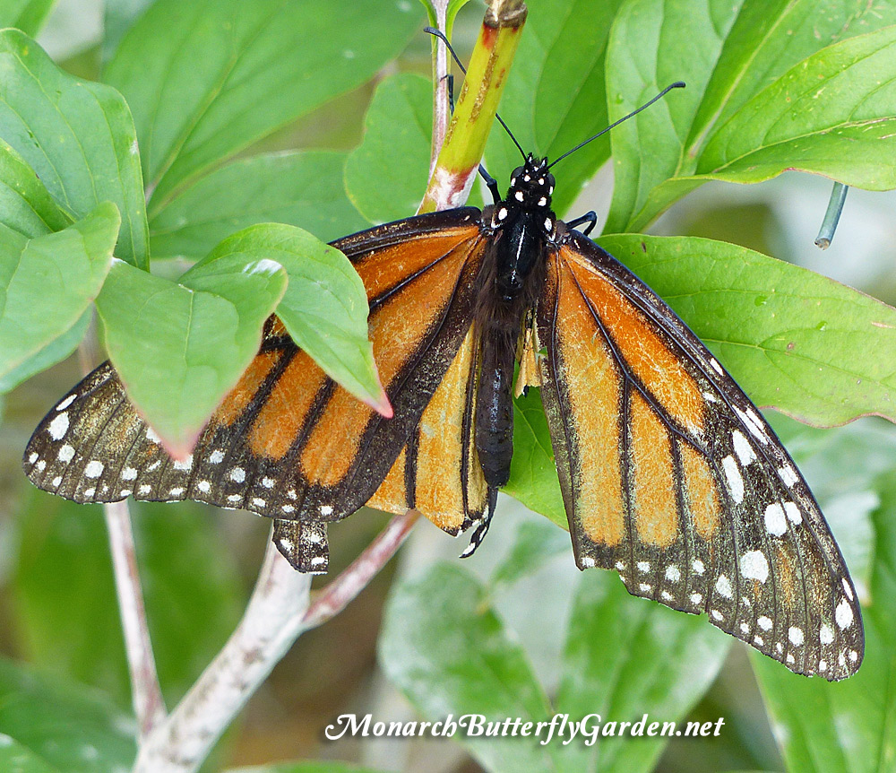 520941e189aa0 2017 Monarch Migration- Raise The Migration Results