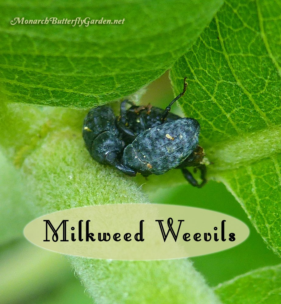Stop Milkweed Pests from Ruining Milkweed for Monarchs
