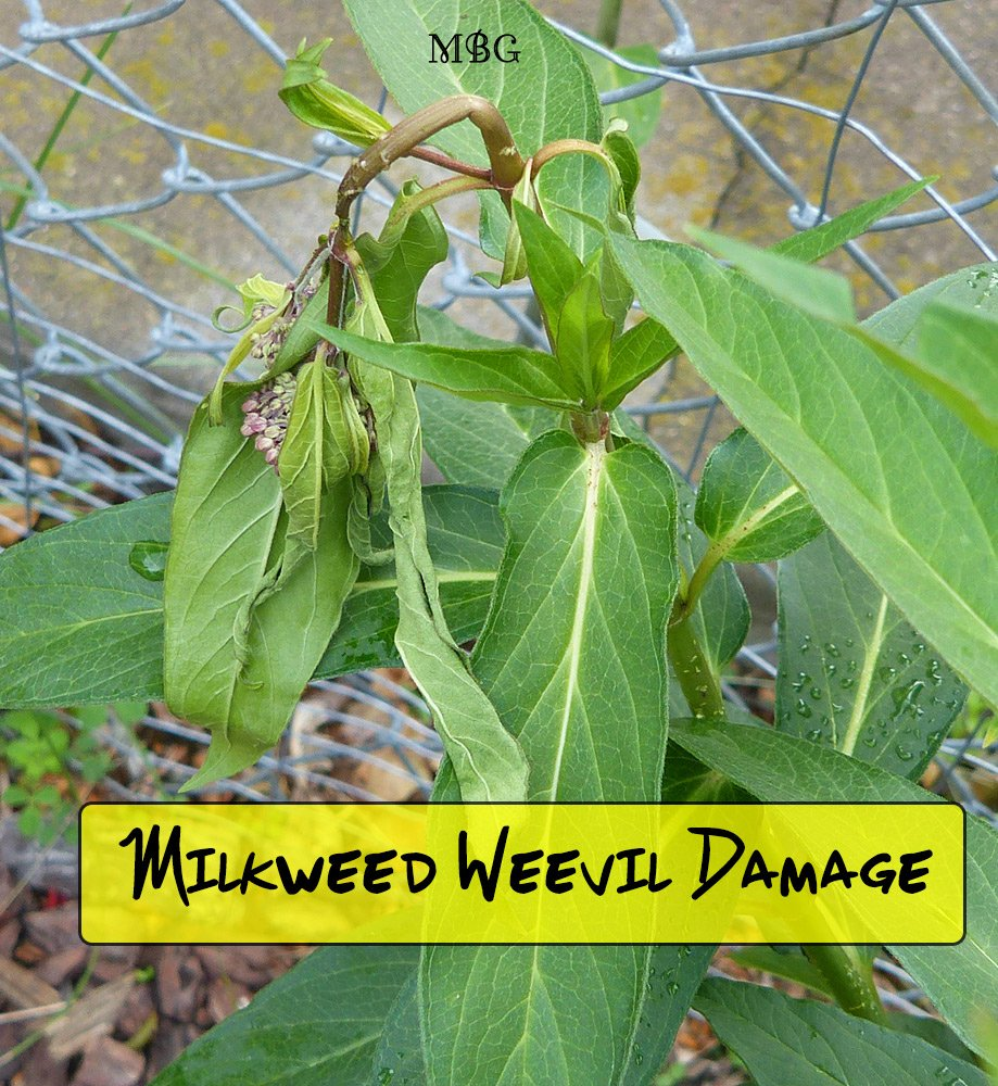Milkweed weevil larva and adults both feed on swamp milkweed stems bending them to their will and, eventually, breaking them. How can you stop these milkweed pests in your garden?