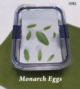 Use sealed food containers as hatcheries for precious monarch eggs- caterpillar cage ideas