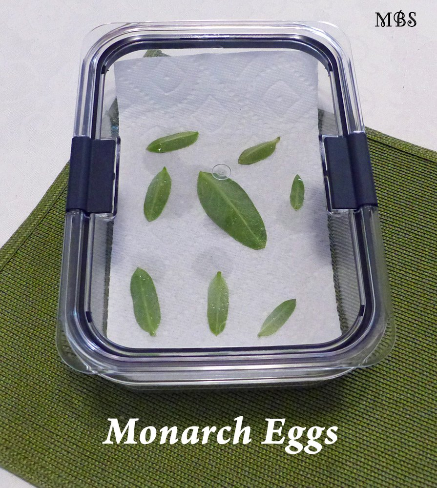 Use household food containers as a nursery to hatch monarch eggs- butterfly cage ideas