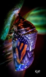 When the top chrysalis pleats start to expand and separate like an old slinky, a magnificent monarch will soon emerge. More info on Hatching Monarch Butterflies...