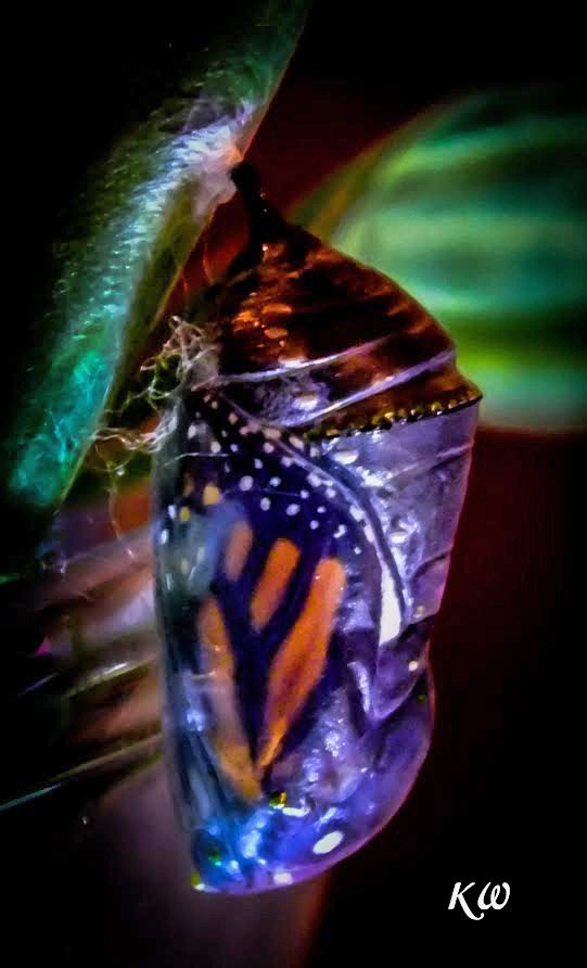 When the top chrysalis pleats start to expand and separate (like an old slinky) a magnificent monarch will soon emerge. More Info on Hatching Monarch Butterflies...