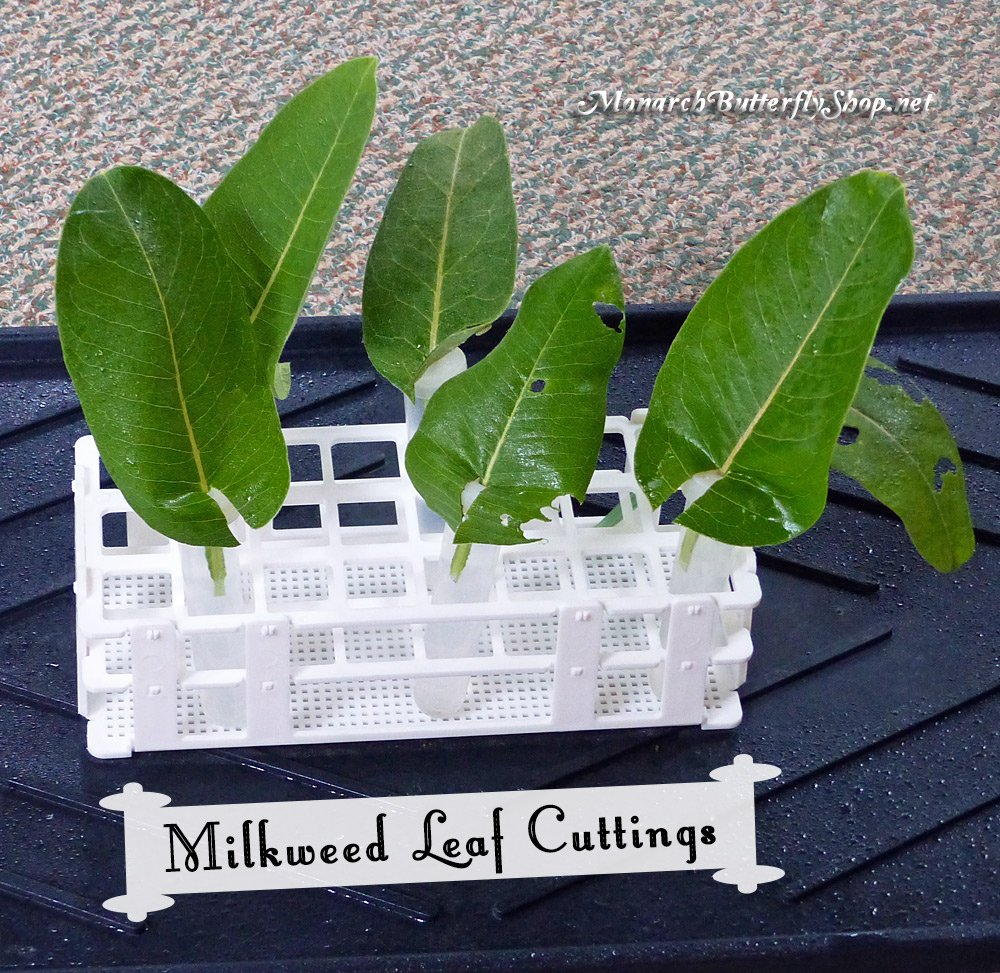 Milkweed Leaf Cuttings...the ultimate set up for monarch eggs and baby caterpillars...with a minor leaf adjustment.