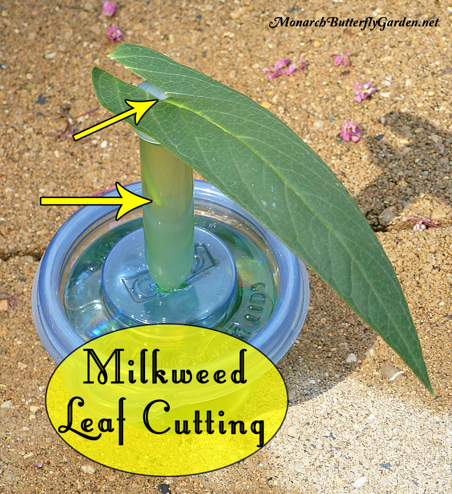 One milkweed leaf can sustain a baby monarch caterpillar for up to five days if you use leaf cuttings. Here's how to make it work and stop wasting milkweed.