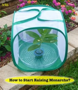 So you want to Start Raising Monarch Butterflies? Your Journey Begins here…