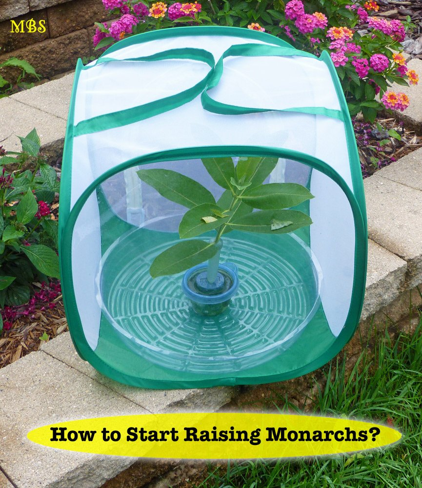 How To Start Raising Monarch Butterflies? The info and tools you need to begin your raising journey...
