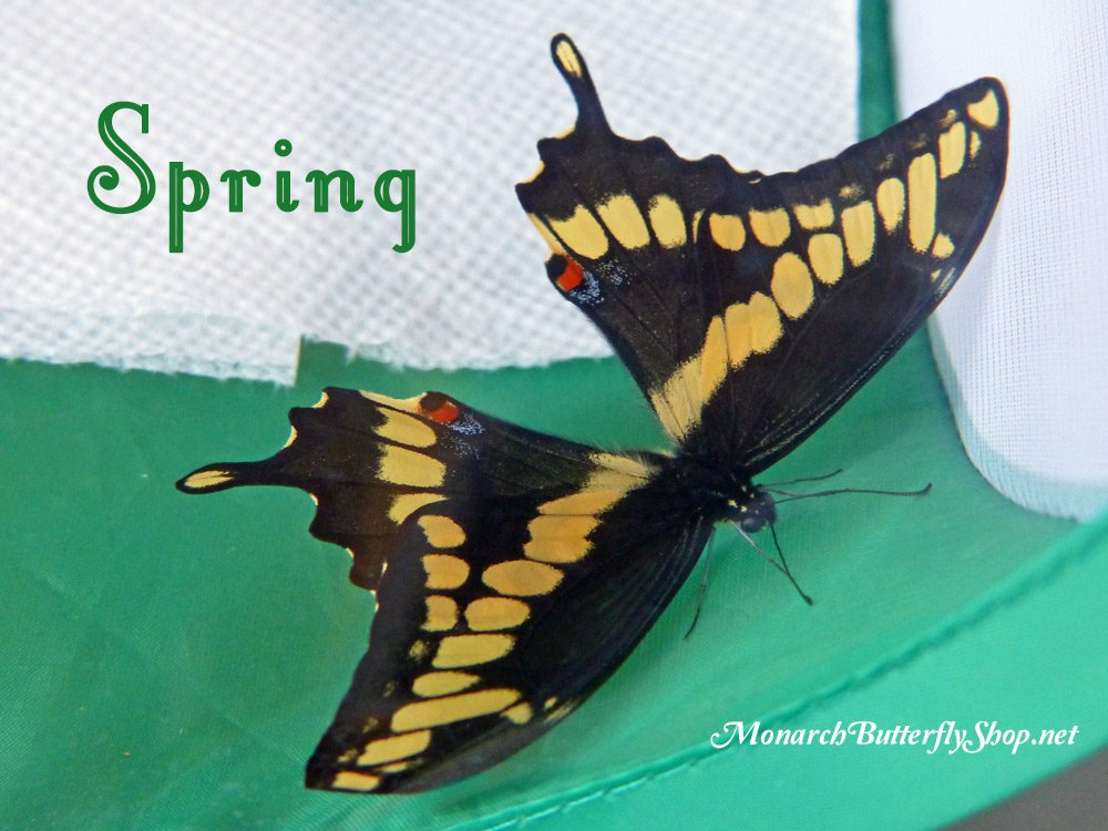 A female Giant Swallowtail emerges successfully from her chrysalis on the floor of a butterfly habitat. She survived the entire Minnesota winter in a frigid 3-season porch. Learn more about overwintering swallowtail chrysalides so you can release butterflies in spring...