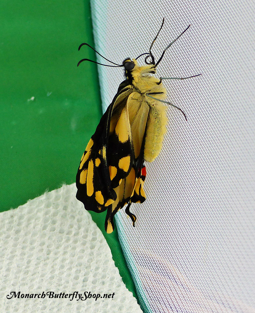 Floor Birth! A giant swallowtail emerges from its chrysalis on a butterfly cage floor and climbs up a mesh wall to dry its wings.