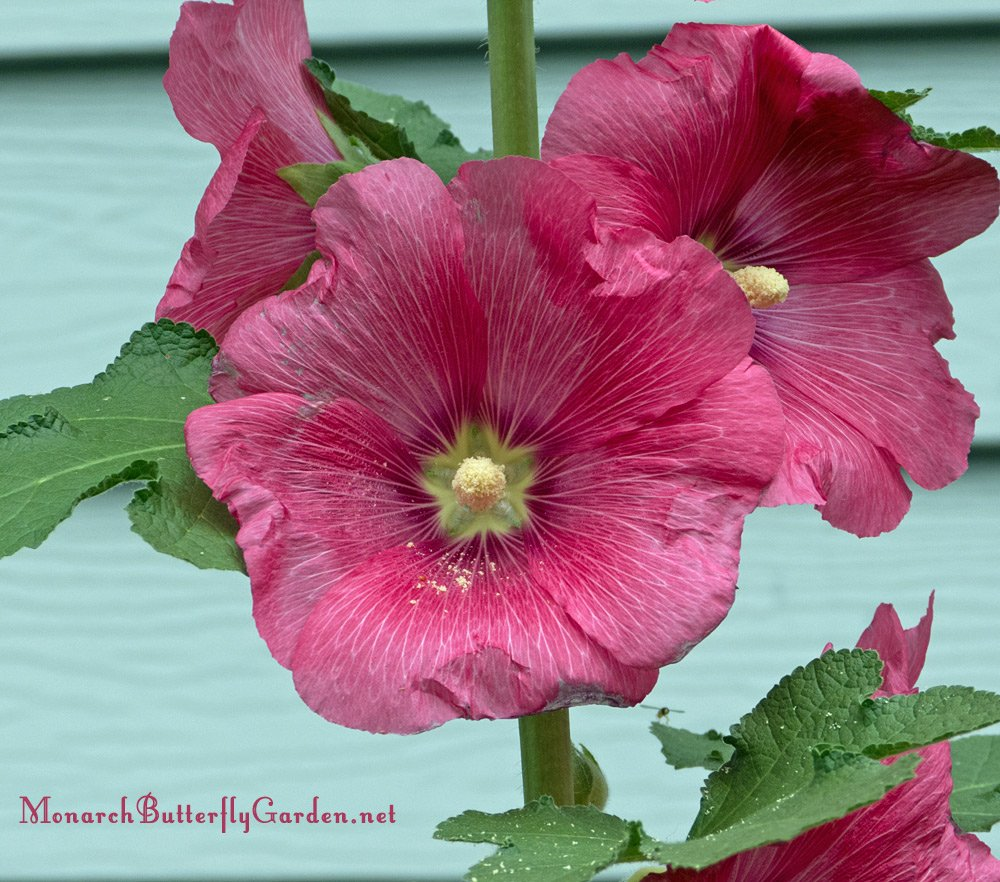 The hollyhock comes in many colors to brigthen up your garden and is a nectar plant for pollinators and a host plant for painted lady caterpillars. More info and find some for your garden...