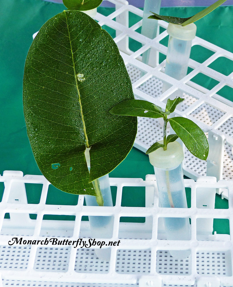 To transfer monarch caterpillars from one milkweed leaf or cutting to another place a floral tube next to another one and let them crawl over. More info on growing baby caterpillars...