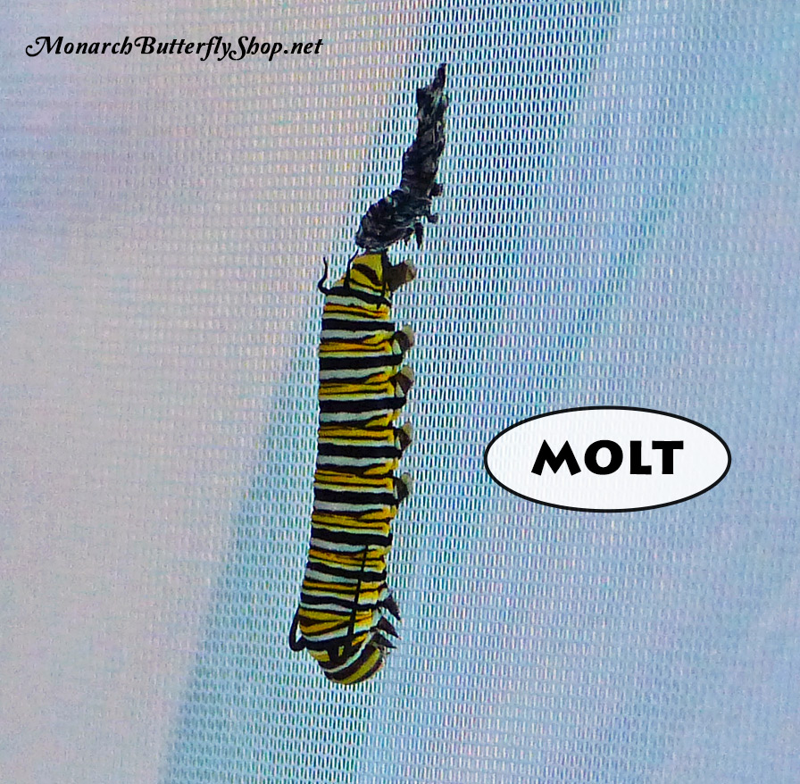 Monarch cateprillars often position themselves on a cage wall facing the floor to shed their skin, which they do 4 times before forming a chrysalis. More info on growing monarch caterpillars...