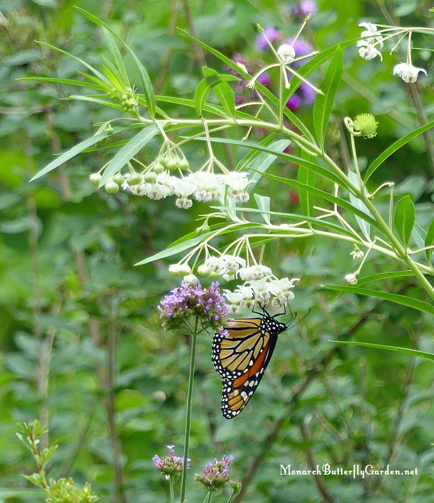 Monarchs use Balloon Plant as both a host plant for caterpillars and nectar plant for adult butterflies.