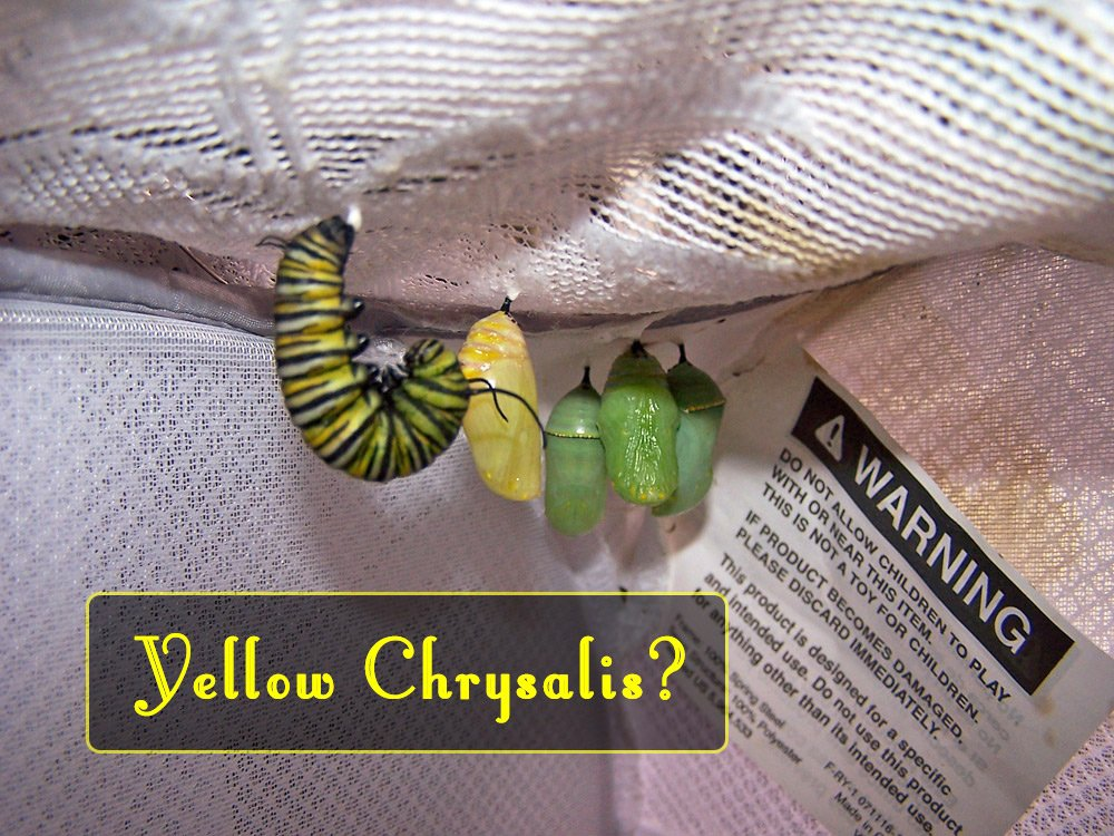 Unsolved Monarch Mysteries? A fully yellow monarch chrysalis is caused from a recessive gene, and is referred to as Orange Pink Yellow (OPY).