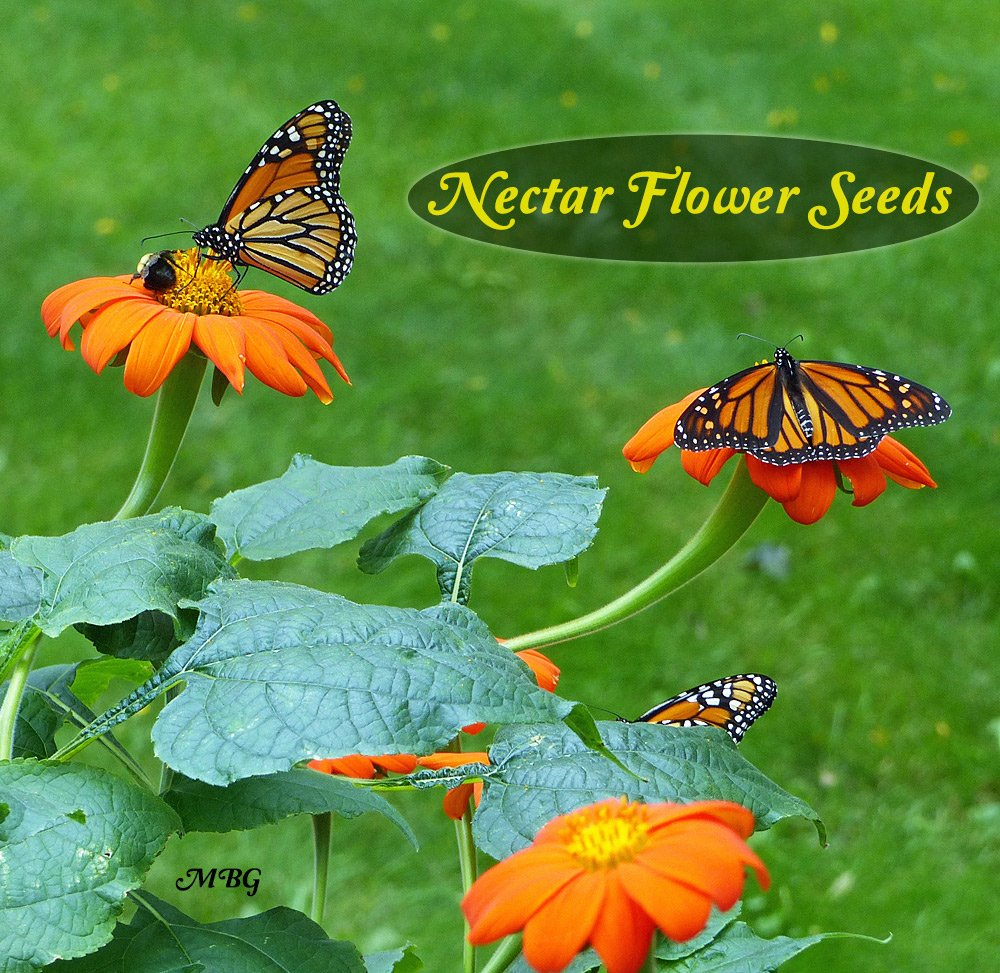 Mexican sunflower seeds are the perfect gift for a butterfly gardener looking to attract more monarchs.