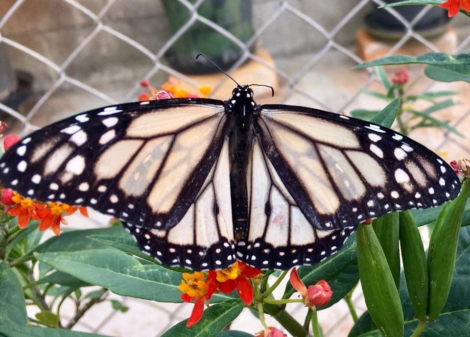 White Monarch Butterfly in Hawaii- Nivosus