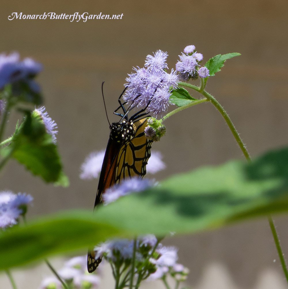 Conoclinium coelestinum is hardy ageratum for monarch butterflies. A top-notch nectar flower from early summer through the monarch migration