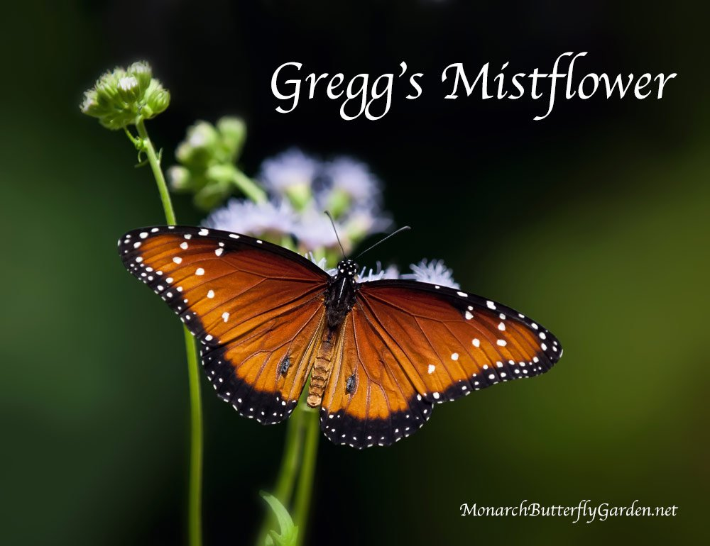 Gregg's mist flower is a butterfly magnet to the royal family including both monarchs and queens.