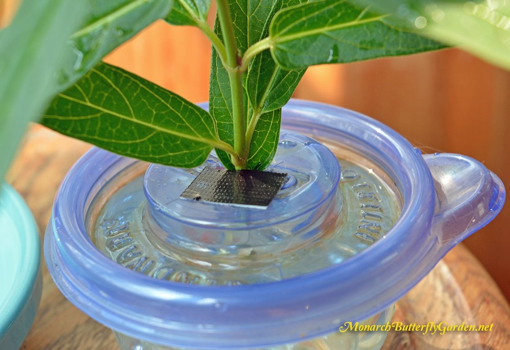 If using milkweed stem cuttings inside food containers, we use duct tape to cover any open areas to prevent accidental drownings.