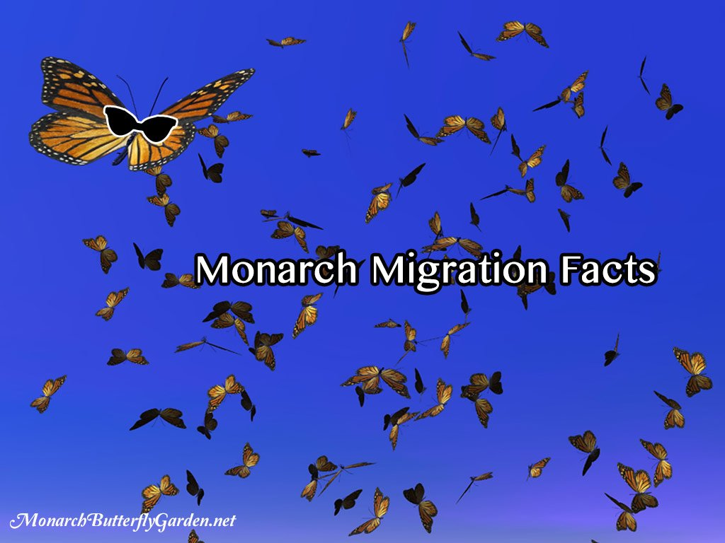 10 Monarch Migration Facts that justmight Surprise you