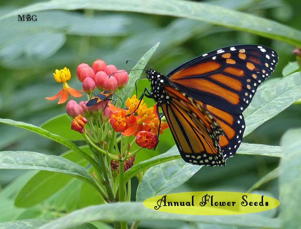 Annual Butterfly Seeds- Butterfly Gift Idea